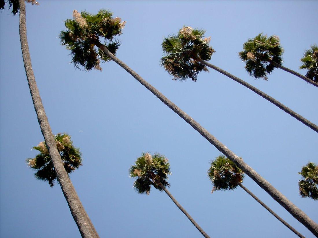 The choreographed palm trees of LA.