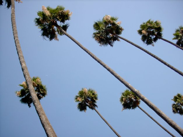 The choreographed palm trees of LA.